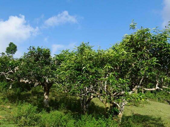 Chè Shan tuyết từ vùng núi cao của bản Phìn Hồ, Hà Giang. Tuổi thọ cây từ 100-150 tuổi